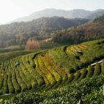 Чайная плантация Лун У