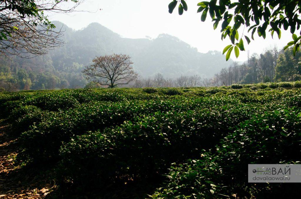 чай плантация лун цзин колодец дракона