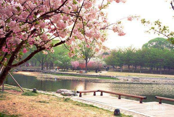 青山公园樱花山