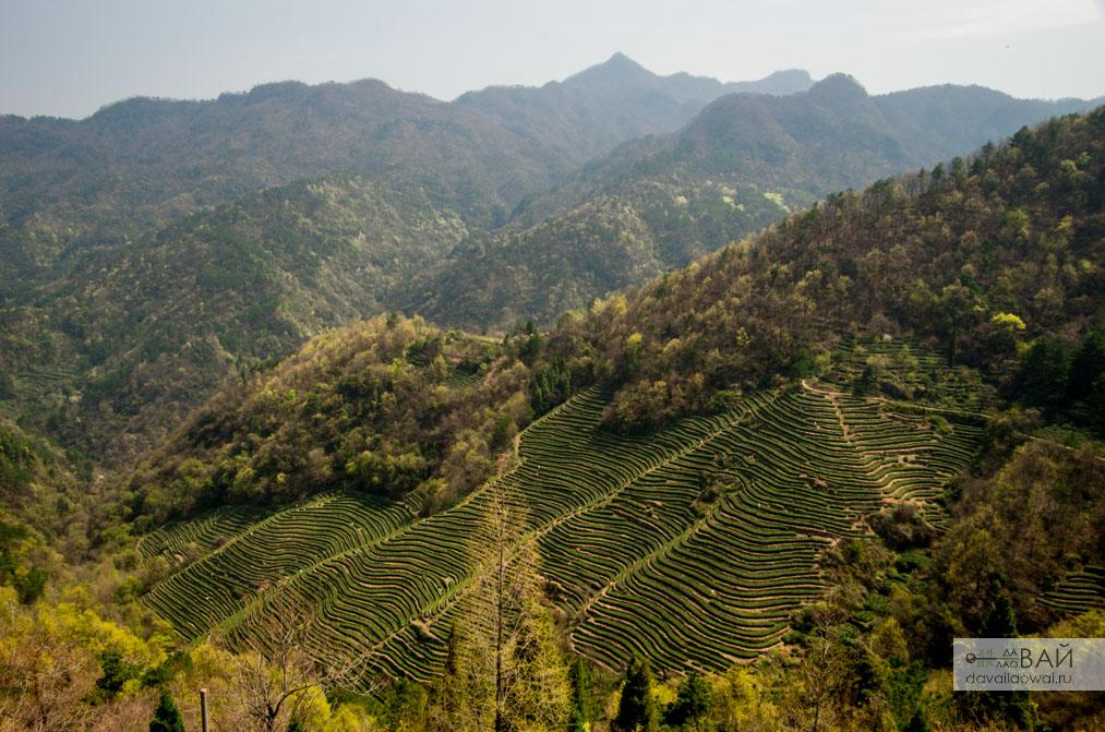 чайная плантация Удан шань КИтай