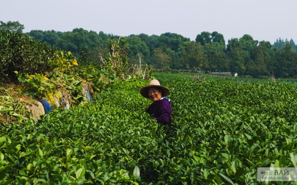 сбор чая ханжоу