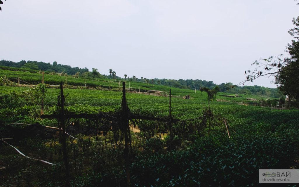 плантация чай лунцзин ханчжоу