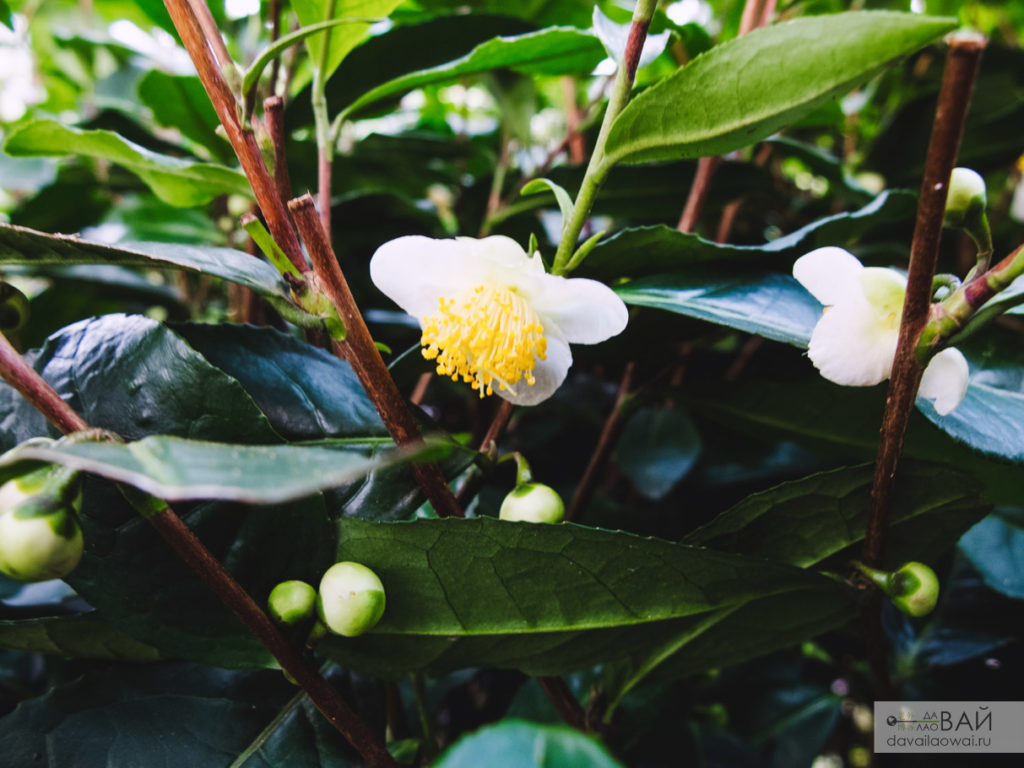 чайных цветок лунцзин