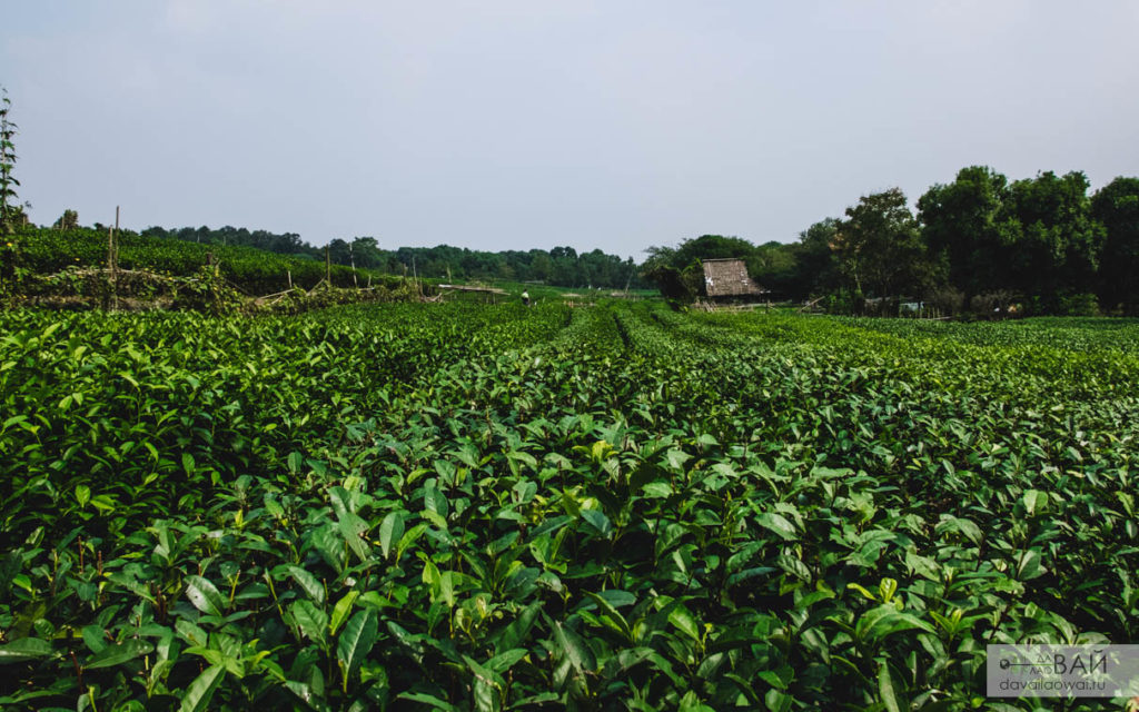 плантация лунцзин ханчжоу