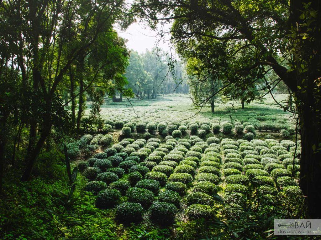чай в ханчжоу