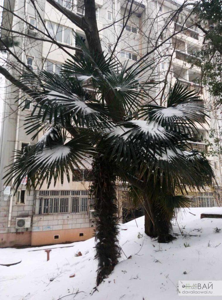 пальма в снегу
