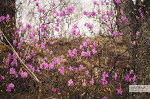 как цветет багульник владивосток