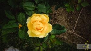 Парк роз Наканошима в Осаке